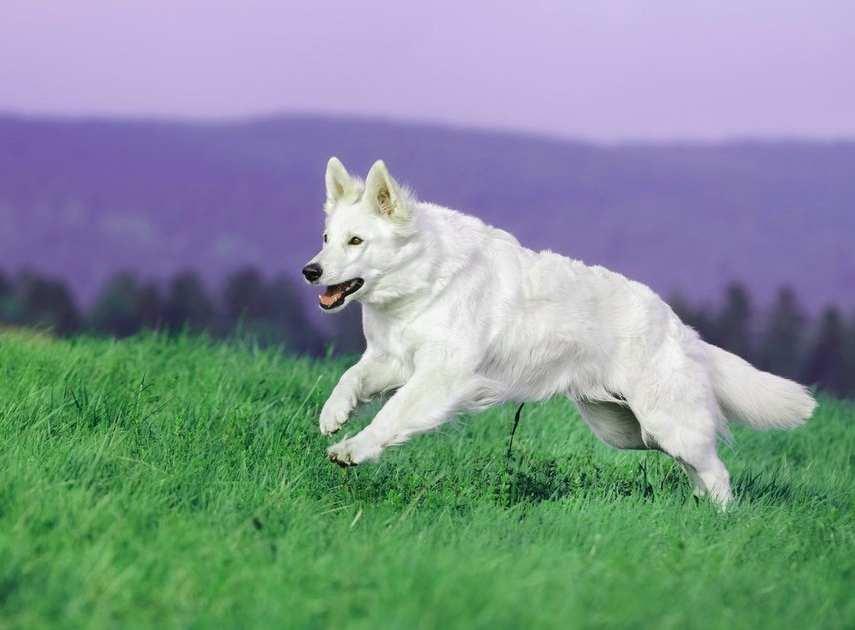 Бяла немска овчарка.