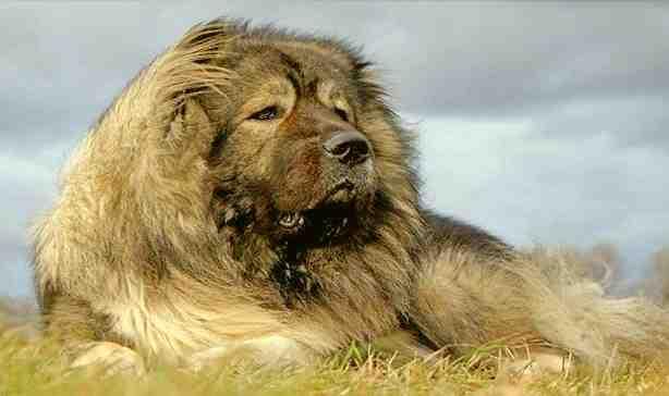 Кавказка овчарка.