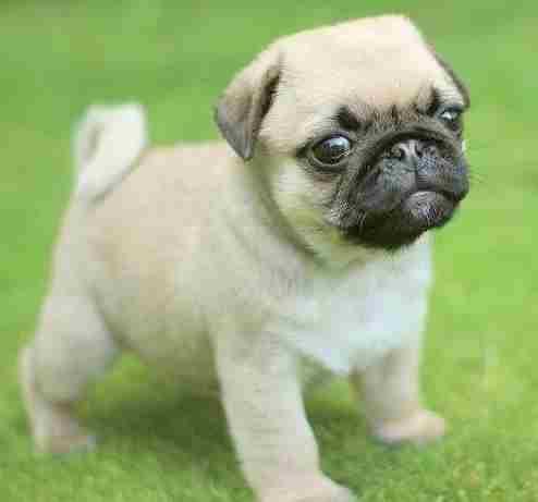Каква е средната цена на куче мопс?