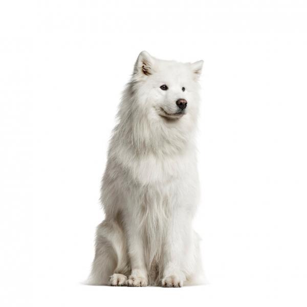 Характеристики на куче от породата самоед
